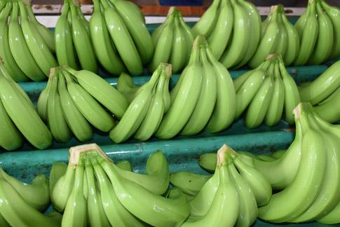 Exportaciones de banano suben 10.6 % en Honduras
