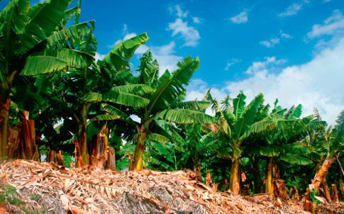 Producción bananera bajaría 20% por El Niño